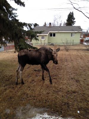 Click image for larger version  Name:moose1.jpg Views:144 Size:59.9 KB ID:4397